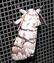 Eastern Panthea - Panthea furcilla