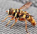 Syrphid Fly - Milesia virginiensis