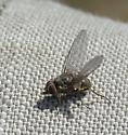 Horn Fly - Haematobia irritans