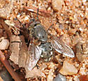 Fly65 - Pollenia - male
