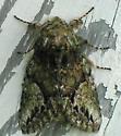 White-blotched Heterocampa - Heterocampa umbrata - male