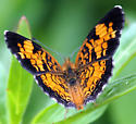 Is this a Male Pearl Crescent (Phyciodes tharos)? - Phyciodes tharos - male