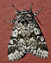Etched Moth - Panthea acronyctoides