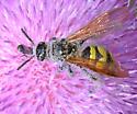 Wasp (Polistes?) on Thistle - Campsomeris pilipes - female