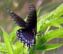 Which swallowtail is this? view 3 - Papilio polyxenes