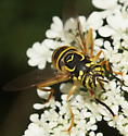 Spilomyia? - Spilomyia longicornis