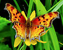 Comma butterfly, possibly Hoary Comma or Satyr Comma - Polygonia gracilis
