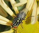 Cochliomyia macellaria? - Cochliomyia macellaria