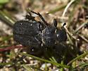 Beetle - Cremastocheilus crinitus