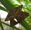 mating moths - Ematurga amitaria - male - female