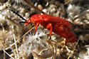 Red bug with black wing tips - Lycus sanguineus