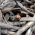 Red Ant - Formica ravida