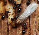 acrobat ants - Crematogaster cerasi - male - female