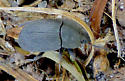 Black Beetle - Alaetrinus minimus