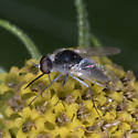 Unknown fly - Geron - male