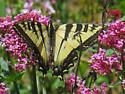 Papilio rutulus? - Papilio rutulus