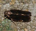 Planthopper - Pentastiridius cinnamomeus