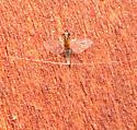 Tiny mayfly - Caenis