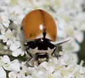 What kind of lady beetle? - Coccinella trifasciata