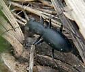Loamy Ground Tiger Beetle - Dromochorus belfragei - male