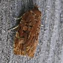Choristoneura sp. maybe - Choristoneura