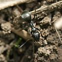 Mound building ant - Formica subsericea