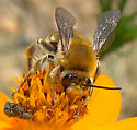 Bee on Cosmos - Syntrichalonia exquisita