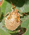 Unidentified Stink Bug nymph - Apoecilus