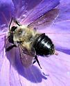 Megachile gemula/mucida - Megachile