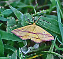 Butterfly or Moth And Which One? - Haematopis grataria
