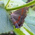 Dusky-Blue Groundstreak - Calycopis cecrops