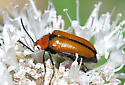 Nemognatha sp. - Nemognatha scutellaris
