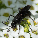 Wasp - Anoplius