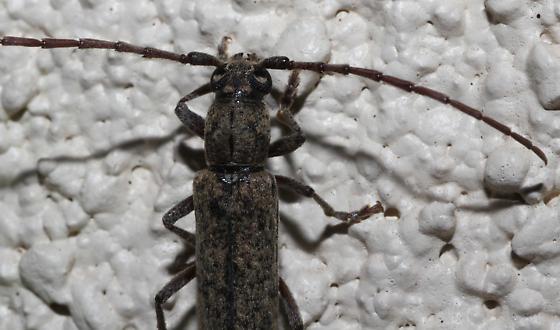 Longhorned beetle - Anelaphus brevidens