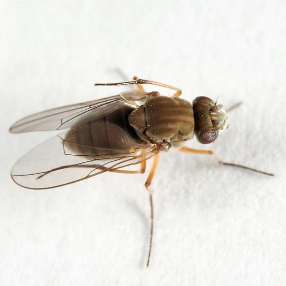 Shore Fly - Brachydeutera longipes