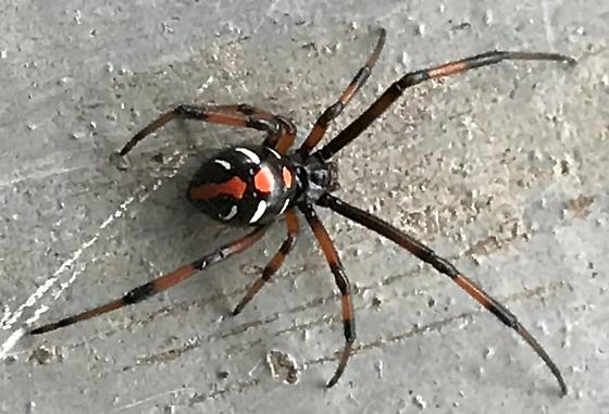 Need full ID on this black widow - northern, southern, male, female? - Latrodectus variolus