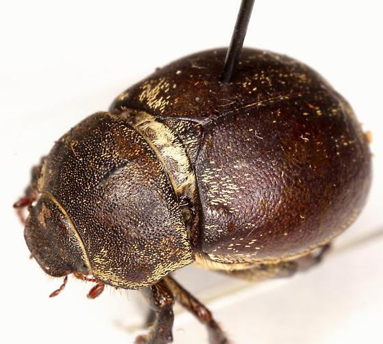 Phyllobrotica limbata (Fabricius) - Phyllophaga lanceolata