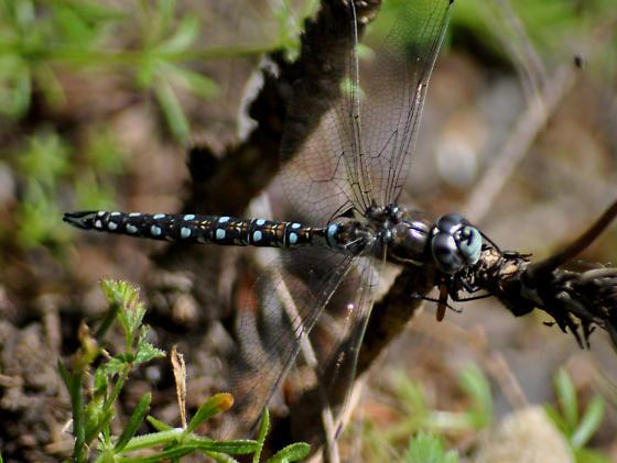 Dragonfly - Rhionaeschna californica