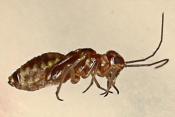 PA-6 Psocid Larva?