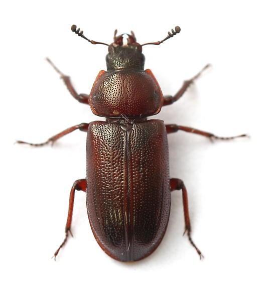 Platycerus quercus - female