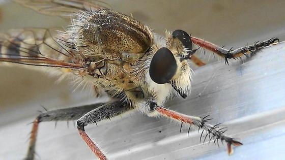 Robber Monster (shade) - Efferia albibarbis - male