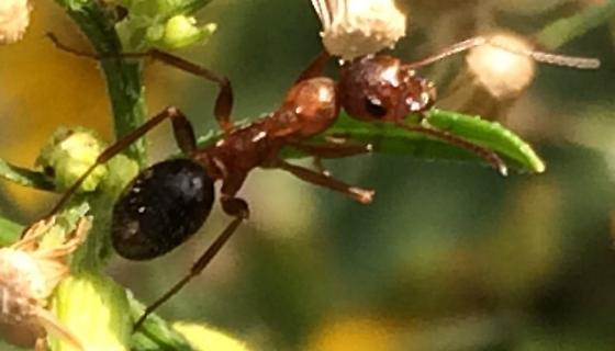 Large ant - Formica pallidefulva - female