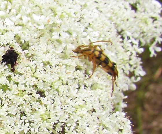 Cerambycidae, Lepturinae, Strangalia luteicornis?