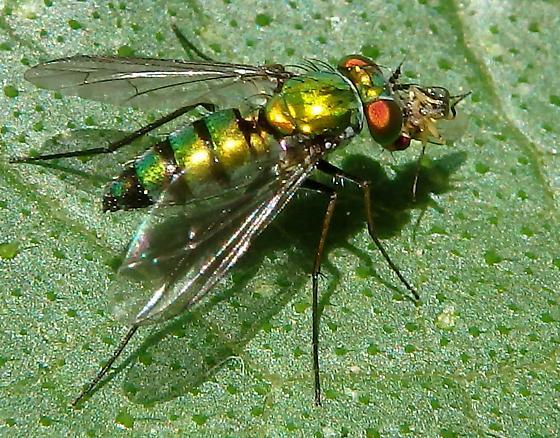 Dolichopodid Fly - Condylostylus longicornis - female