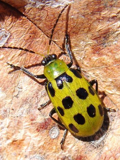 Spotted Cucumber Beetle - Diabrotica undecimpunctata