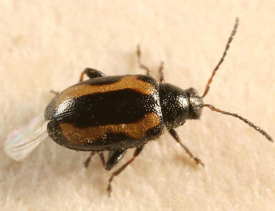 flea beetle? - Phyllotreta striolata