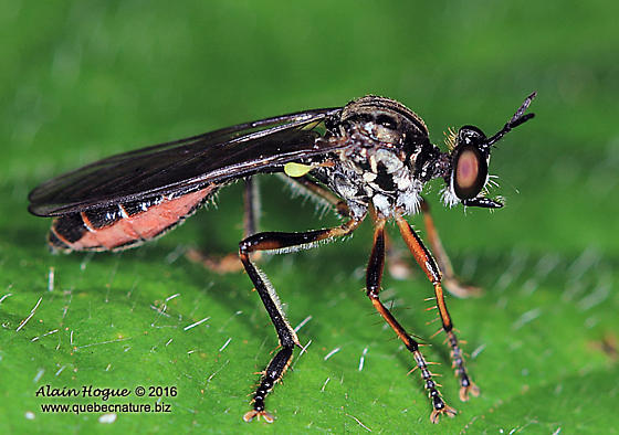 Asiloidea - Dioctria