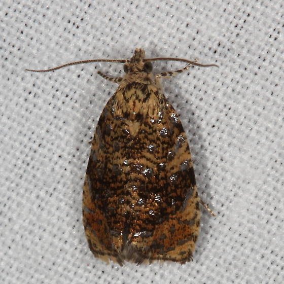 The Astronomer Moth - Olethreutes astrologana