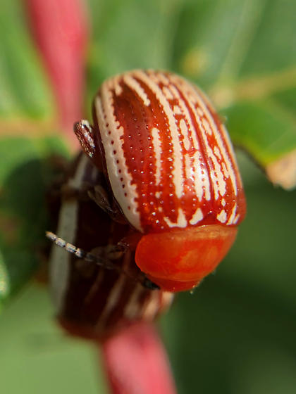 Sumac Flea Beetles (Blepharida rhois)?  - Blepharida rhois - male - female