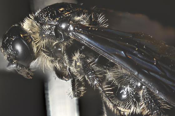 Campsomeris dorsata Focus Stack - Dielis dorsata - female